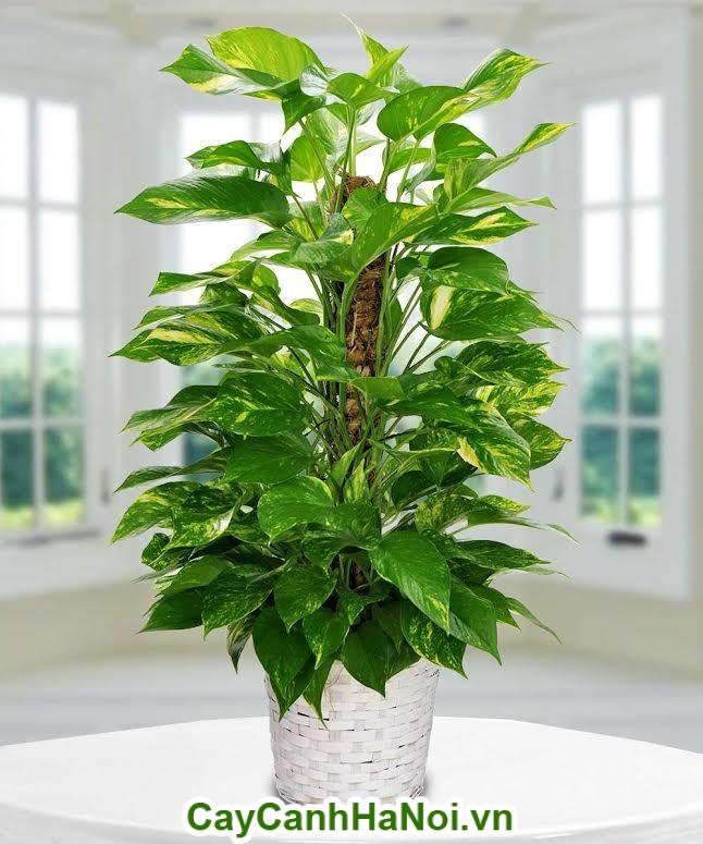 Cây vạn niên thanh leo cột là loài cây sống tốt ở nơi thiếu ánh sáng