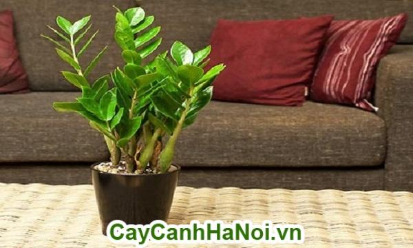 Cuống và lá của cây kim phát tài có chứa nhiều tinh thể canxi oxalat.