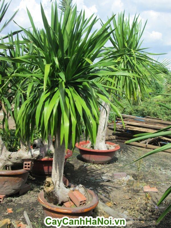 Cây Phát Tài có thể tự sinh tồn trong môi trường khắc nghiệt