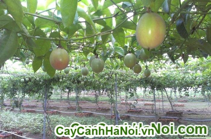 cây chanh leo - cây leo đẹp và giàu chất dinh dưỡng