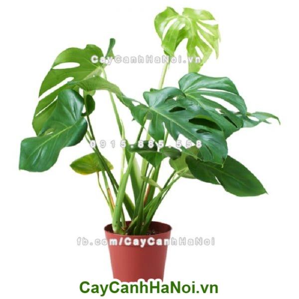 cay-chiu-nang-ray-la-xe-3