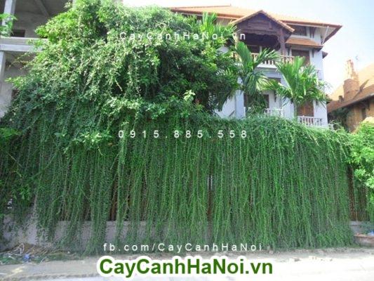 Cây cúc tần Ấn Độ và cách chăm sóc cây hợp phong thủy