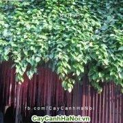 Cây mành mành - loài cây dây leo mang lại vẻ đẹp thanh cao cho ngôi nhà