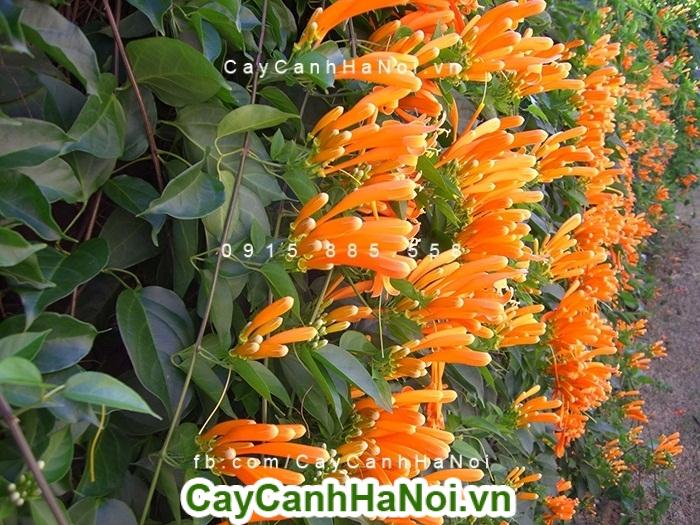 Hoa chùm ớt - loài hoa leo đẹp và mang lại may mắn cho gia chủ