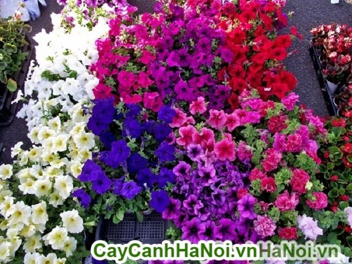 Hoa dạ yến thảo - loài hoa mang lại nét đẹp quyến rũ cho ban công