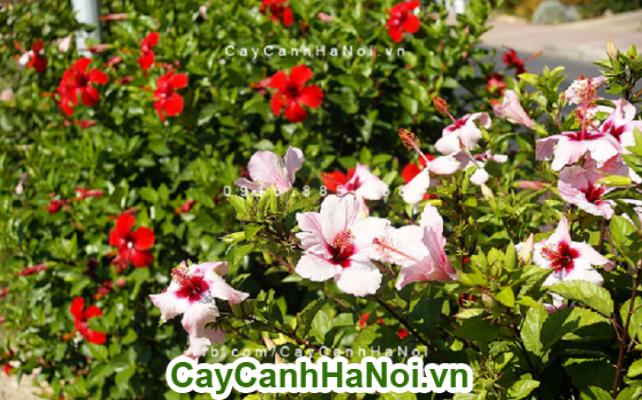 Hoa dâm bụt thái - loài hoa mang nét đẹp dịu dàng và từ bi của đức phật