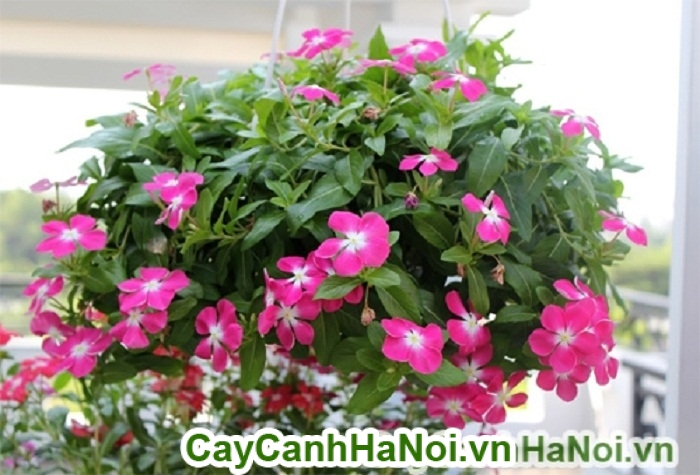 Hoa dừa cạn với cách trồng hoa rủ ban công đẹp siêu đơn giản