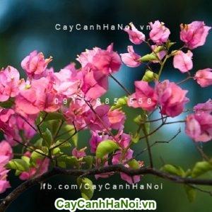 Hoa giấy Thái Lan - Hoa leo đẹp cho mọi không gian sống