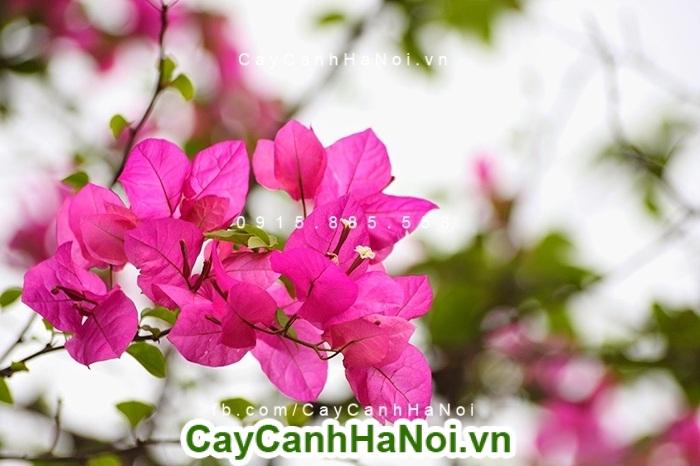 Hoa giấy - hướng dẫn kỹ thuật trồng và chăm sóc hoa giấy đẹp nhất