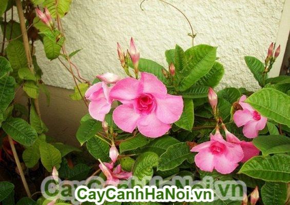 Hoa hồng anh - cây dây leo giàn đẹp nhất bạn không nên bỏ qua