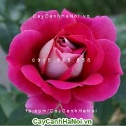 Hoa hồng ta một vẻ đẹp truyền thống đằm thắm, giản dị nhưng vô cùng quyến rũ