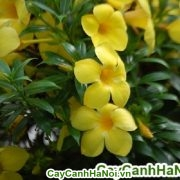 Hoa huỳnh anh _ loài hoa leo siêu đẹp cho mọi không gian sống