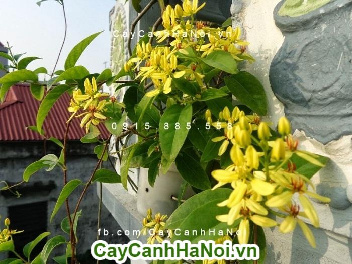 Hoa mai hoàng yến - Hoa đẹp cho mọi không gian sống