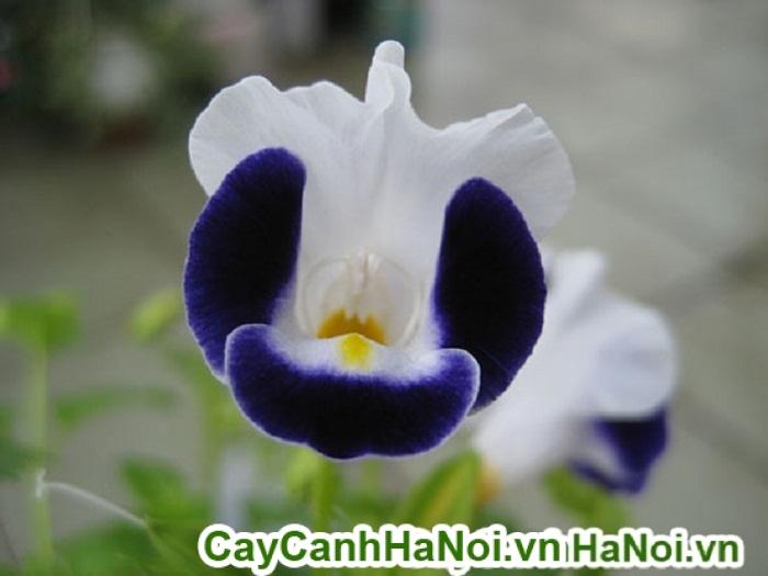 Hoa mắt nai - hoa đẹp và ý nghĩa cho mọi không gian sống