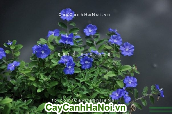 Hoa thanh tú, cây ban công tuyệt đẹp với màu xanh tím thanh tao