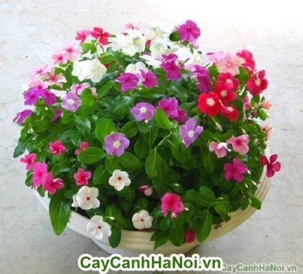 Hoa triệu chuông - hoa chậu treo đẹp, thu hút mọi ánh nhìn