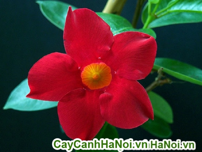 Hoa hồng anh, loài hoa leo giàn mang vẻ đẹp đầy cuốn hút và ấn tượng