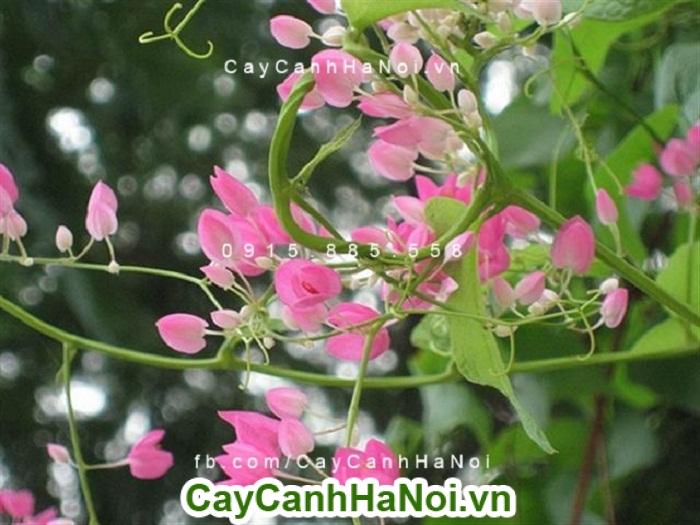 Hoa leo tigon hoa leo giàn mang nét đẹp giản dị khó phai