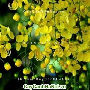 Hoa mai hoàng yến thân leo tô điểm cho không gian sống một sắc vàng tươi tắn và sinh động