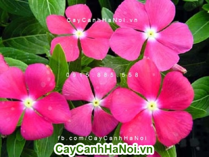 Hoa dừa cạn một loại hoa chậu treo cho không gian thêm sinh động và đẹp hơn