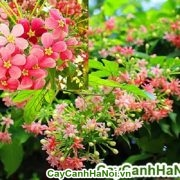 Hoa sử quân tử - giàn hoa che nắng cho cả mùa hè nóng bức