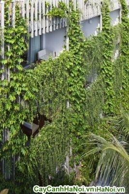 Cây cúc tần ấn độ, cây dây leo phủ màu xanh tươi mát cho ngôi nhà khỏi nóng bức ngày hè