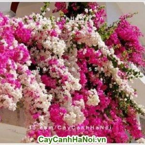 Cây hoa giấy Singapore - cây hoa leo nhiều màu sắc mỏng manh nhưng đầy quyến rũ