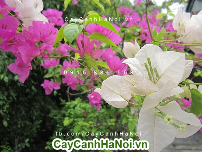 cay-hoa-giay-singapore-6