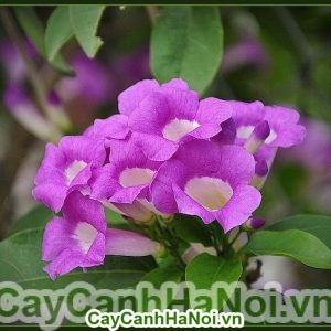 Cây hoa lan tỏi - Loài hoa leo có vẻ đẹp thanh khiết và dịu dàng
