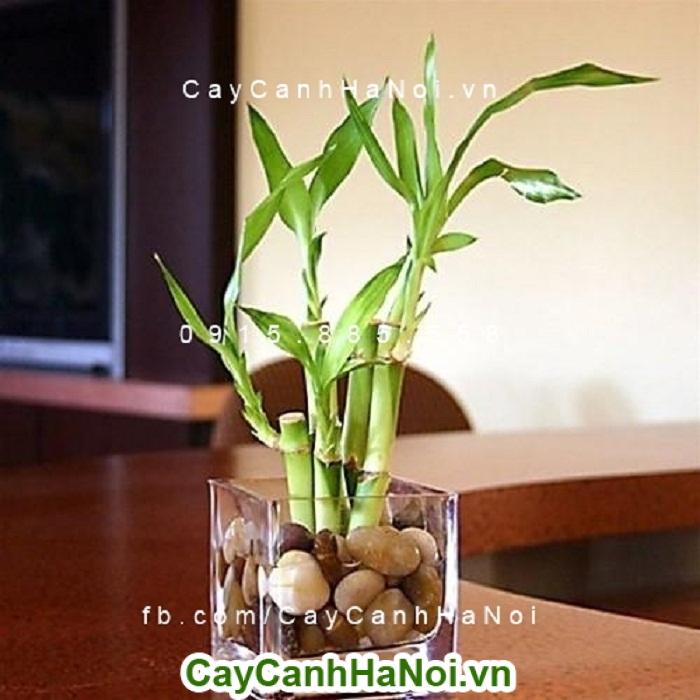 Cây phát lộc - cây cảnh nội thất mang nhiều ý nghĩa phong thủy tốt đẹp đến với gia chủ