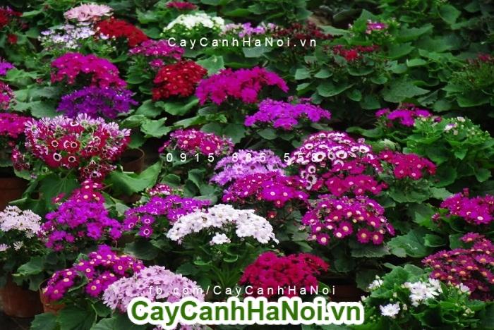 Hoa cúc indo điểm nhấn cho ban công nhờ vẻ đẹp bình dị của mình