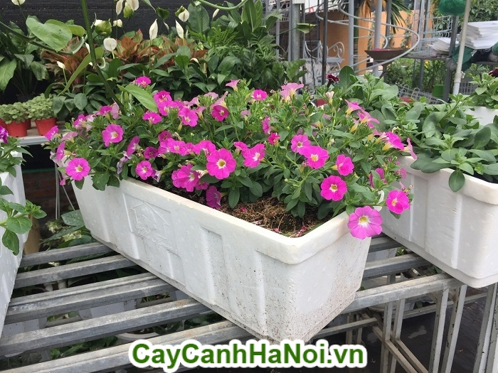 Hoa dạ yến thảo - loài hoa mang nhiều ý nghĩa tốt đẹp cho người được tặng