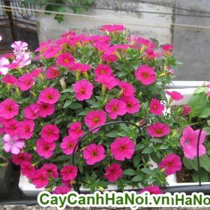 Hoa dạ yến thảo hoa làm đẹp cho ban công thêm sức sống mới