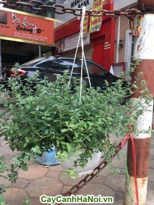 Hoa dừa cạn thổi làn gió mới cho không gian sống đẹp.