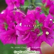 Cách trồng và chăm sóc cho hoa giấy nở quanh năm