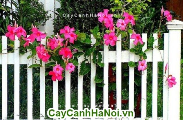 Hoa hồng anh - cây dây leo dàn đẹp nhất bạn không nên bỏ qua
