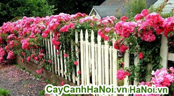 Hoa hồng leo với cách trồng và chăm sóc cho ra hoa sau 3 tháng