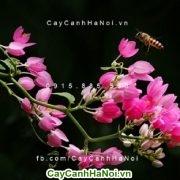 Hoa leo tigôn - hoa leo mang màu sắc tình yêu của ngày hè