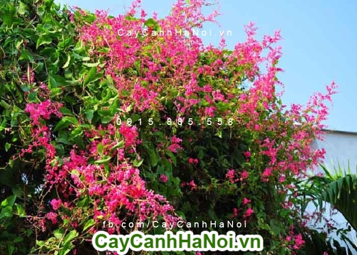 Hoa leo ti gôn - hoa leo mang màu sắc tình yêu của ngày hè