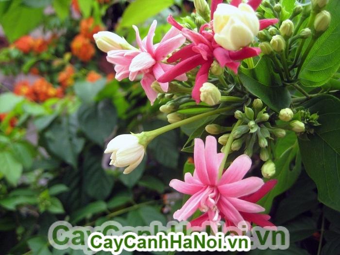 Cách trồng hoa sử quân tử cho hoa đẹp, xua tan cái nóng của mùa hè