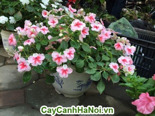 Hoa triệu chuông - hoa chậu treo đẹp bừng sáng cả một không gian vườn
