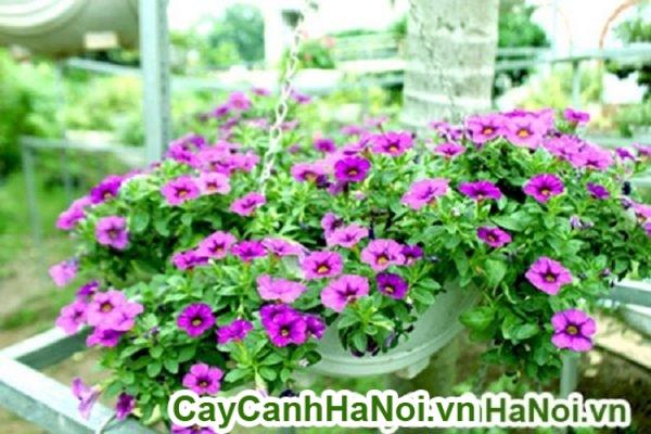 Hoa triệu chuông cây ban công đẹp cho mọi không gian sống đẹp