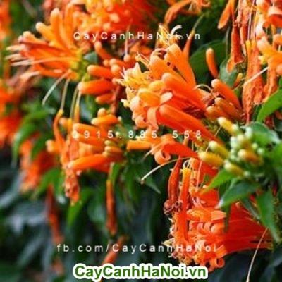 Hoa chùm ớt hoa leo giàn khỏe, mang sắc cam đến khuôn viên nhà bạn