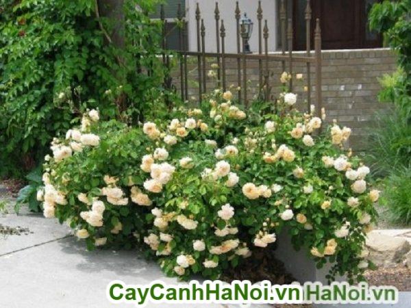 Hoa hồng leo, loại dây leo siêu đẹp cho không gian sống đầy thơ mộng