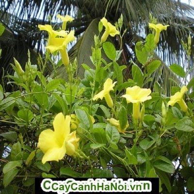 Hoa hồng anh, loài hoa leo giàn mang vẻđẹp đầy cuốn hút và ấn tượng